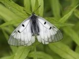 Zwarte apollovlinder