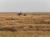 Canadese kraanvogel