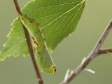 Kleine hermelijnvlinder