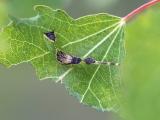 Wilgenhermelijnvlinder