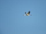 Siberische witte kraanvogel