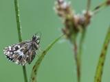 Aardbeivlinder