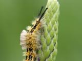 Hoekstipvlinder