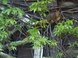 Eekhoorn, Gewone eekhoorn