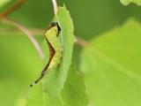 Hermelijnvlinder