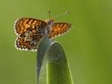 Veldparelmoervlinder