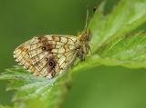 Purperstreepparelmoervlinder