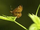 Roodbonte parelmoervlinder