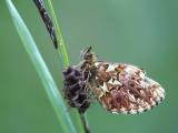 Titania's parelmoervlinder