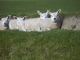 Texels schaap