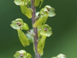 Grote keverorchis