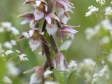 Moeraswespenorchis